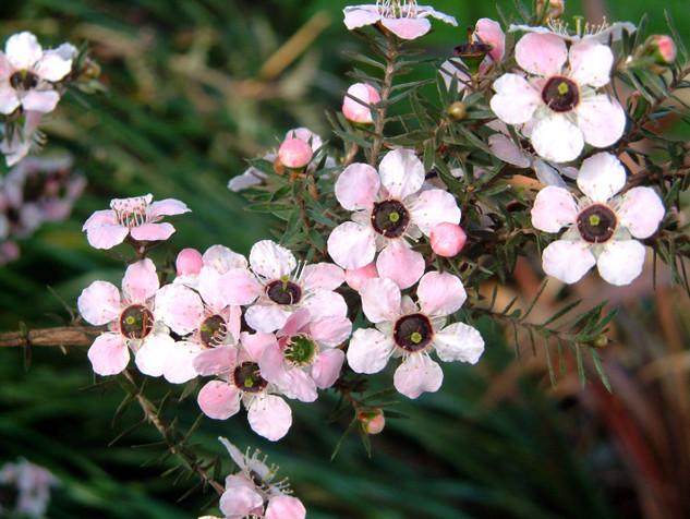 hoa manuka có khả năng chống viêm và chống khối u