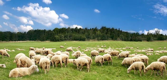 Nhau thai cừu cần có nguồn gốc sạch