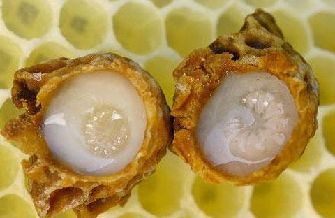 sữa ong chúa có màu trắng đục hoặc vàng nhạt